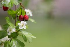Müzmüldek - Crataegus azarolus L (halukderinöz) Tags: hawthorn gülgiller rosaceae white beyaz flower çiçek red kırmızı fruit meyve ankara türkiye