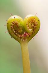 Drosera binata (Laurent Moulin photographie) Tags: formation feuille de drosera binata en forme coeur plante carnivore carnivorous plant rossolis heart poils glanduleux gouttes glue