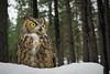 Great Horned Owl (Jon David Nelson) Tags: bubovirginianus bubo greathornedowl education conservation highdesert wildlife owls birdsofprey raptors