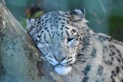 Big cat needing big hug! (JerryGoulet) Tags: nikonflickraward felini tree hugging zoo uk