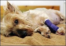Sick Dog From Wheat Gluten