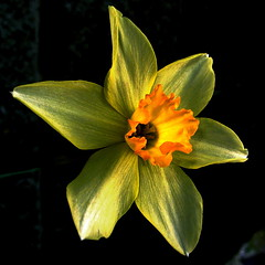 Narcissus (shinichiro*) Tags: flower macro japan order grdigital crazyshin 2007 excellence 1on1 aroundhome grd flowerotica 1on1flowers 1on1nature abigfave overtheexcellence gettyselect order500 order20101106