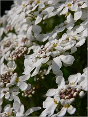 Bloomin' marvellous (reallyreallyrosie) Tags: uk flowers england white macro closeup garden lumix fz20 petals spring dof bokeh devon upclose totnes dartington panansonic reallyreallyrosie paulawakeham