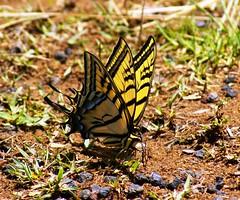 Amor de Primavera (Jesus Guzman-Moya) Tags: naturaleza love nature mxico mexico amor butterflies puebla mariposas babel naturesfinest blueribbonwinner chuchogm sonydslra100 naupan jessguzmnmoya impressedbeauty diamondclassphotographer sharenlearncomparteyaprende