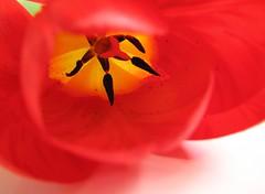 Inside a Tulip (Redscape) Tags: flowers red white flower yellow petals spring tulips whitebackground stamen tulip whiteground floweronwhite