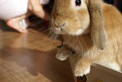 Huh? (Sjaek) Tags: pet cute rabbit bunny animal furry sweet konijn adorable fluffy paws heleen boef