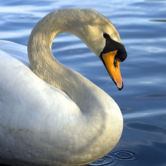 """S"" is For Swan (Photos by Elyssa) Tags: blue water closeup neck swan bravo drop ripples curved soe 2007 scurve abw naturesfinest blueribbonwinner supershot featheryfriday interestingness24 i500 specanimal abigfave shieldofexcellence anawesomeshot avianexcellence diamondclassphotographer flickrdiamond elyssaconley"