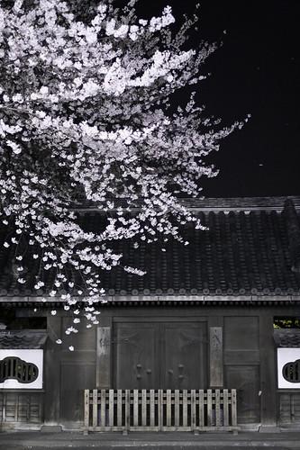 浅草寺・桜