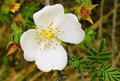 Himalayan Wild Rose