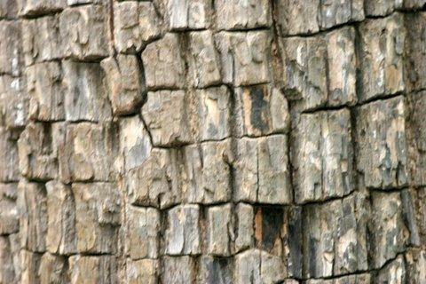 Bark of the Crocodile Bark Tree