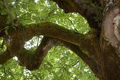 500+ year old linden tree (Philipp Klinger Photography) Tags: old tree austria maria linden krnten rosental elend dcdead