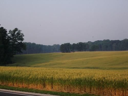 Rolling Fields of Wheat