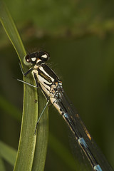 """Damselfly of unknown species ) • <a style=""""font-size:0.8em;"""" href=""""http://www.flickr.com/photos/57024565@N00/519817896/"""" target=""""_blank"""">View on Flickr</a>"""