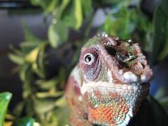 00006 (cleena) Tags: occhio camaleonte pardalis