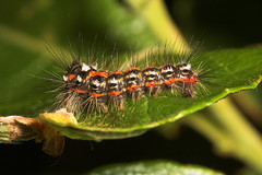 "Dark Dagger Caterpillar (Acronicta ps(3) • <a style=""font-size:0.8em;"" href=""http://www.flickr.com/photos/57024565@N00/530073887/"" target=""_blank"">View on Flickr</a>"
