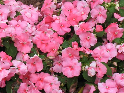 Pink annuals