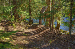 light and shadows (Keith.CA) Tags: forest trail path trees evergreens fall autumn river water stream creek shadows light sunlight scotchcreek shuswap