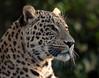 persian leopard Beekse Bergen JN6A6091 (j.a.kok) Tags: panter panther perzischepanter persianleopard pantherapardussaxicolor predator roofdier zoogdier mammal kat cat azie asia iran beeksebergen