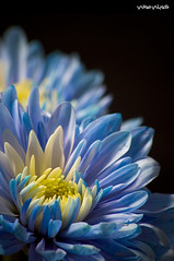 Blue Flower (Hussain Shah.) Tags: blue flower macro yellow d50 nikon sigma daisy 70300mm      impressedbeauty kuwaitimuwali