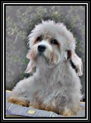 "posing- the watercolor painting (PS2) (""luna caprese"") Tags: dog pet pets dogs animal animals terrier hund hunde dandie dinmont flickrsbest anawesomeshot impressedbeauty superbmasterpiece diamondclassphotographer flickrdiamond"