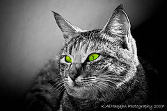 Glowing eyes (Khalid AlHaqqan) Tags: portrait bw hairy cats green eye face animal cat hair eyes head kuwait khalid q8 kuwson q8picturescom alhaqqan