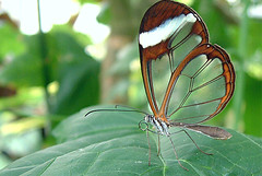 Mariposas con alas de cristal (angeldaniel) Tags: butterfly espejitos glasswings