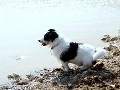 Shall I. Or shant I (Elsie esq.) Tags: brighton jr terrier jackrussell