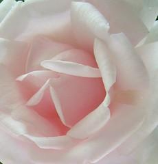 Rose (sillie_R) Tags: flower macro nature rose naturesfinest supershot anawesomeshot
