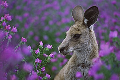 Roo in flowers (tassie303) Tags: flowers color colour green nature animal weeds nikon bravo purple australia 100v10f kangaroo roo patersonscurse flickrsbest twtmeblogged salvationjane flowerpicturesnolimits perpetualtravellers riverinabluebell