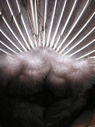 Peacock 'Tocks 5