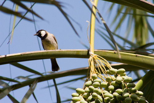 Bulbul in the palm