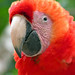 Honduras-0515 - Macaw