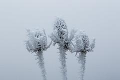 Frozen teasel trio (++sepp++) Tags: bayern deutschland landscape landschaft landschaftsfotografie lechfeld winter raureif bavaria germany dezember december hoarfrost wildekarde wildteasel dipsacusfullonum monochrom einfarbig