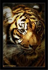 "Give me a ""VOICE"" (What My Eyes C) Tags: nature ilovenature tiger voice sumatrantiger animalplanet tarongazoo wildlifeconservation impressedbeauty savewildlife savetigers bantigertrade explore3apr07"