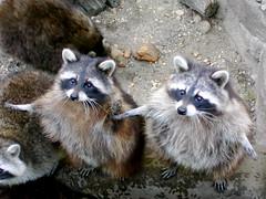 Curiosity (lsgyarmati - press.thepopular.me) Tags: animal zoo racoon curiosity coolest naturesfinest instantfave diamondclassphotographer flickrdiamond lmaoanimalphotoaward