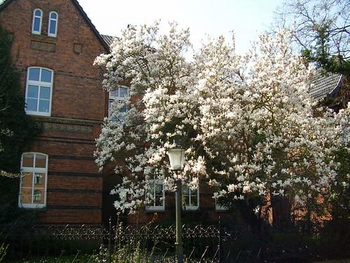 Tulpenbaum & Pfarrhaus
