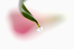 in the droplet (yoshiko314) Tags: pink macro reflection leaf calla bokeh 100v10f drop micro droplet cropped another callalily soe whiteground abstractflowerpart