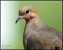Mourning Dove (Momba (Trish)) Tags: bird birds nikon searchthebest dove quality feeder mourningdove nikkor momba 80400mmf4556dvr nikond200 featheryfriday interestingness180 i500 nikonstunninggallery specanimal karmapotd superaplus aplusphoto superbmasterpiece beyondexcellence avianexcellence diamondclassphotographer brisbanebirds march242007 explore12april2007 commonnamemourningdove scientificnamezenaidamacroura