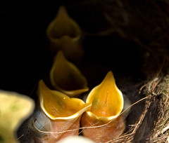 Robin Chicks (tamilian / photo-capture.co.uk) Tags: bird nature robin fauna canon garden backyard wildlife tamron sathish tamilian robinchicks canon30d tamron70300mm superhearts photocapturecouk