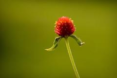 Red Beacon (kktp_) Tags: flowers flower macro nature nikon bravo bokeh naturesfinest globeamaranth magicdonkey  d80 outstandingshots tamronspaf90mmf28dimacro11 abigfave goldenphotographer