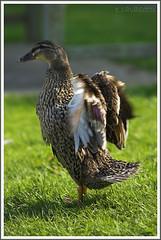 Posudo... (Eduardo Cavasotti) Tags: new york summer d50 duck nikon cocky pato nikkor southampton eduardo 80200mmf28 cavasotti posudo