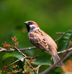 Tree Sparrow (Chi Liu) Tags: tree bird nature canon searchthebest sparrow treesparrow passermontanus naturesfinest chiliu flickrdiamond