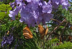 jacaranda (miheco) Tags: california seedpods jacarandatree