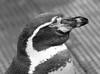Fuji XT2 High ISO (Peter Shergold) Tags: fuji marwell penguin iso noise mono bw zoo xt2 xf50140 copyrightpetershergold topaz denoise