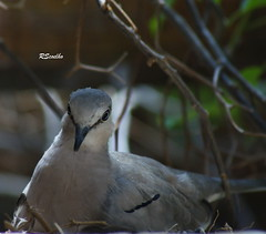 Fauna (Roberto Salomo Coelho) Tags: animal fauna aves ave animale rolinha