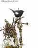 White-sided Flowerpiercer (Michael Woodruff) Tags: bird southamerica birds ecuador birding whitesided flowerpiercer diglossa nwecuador oldnonomindord nonomindo whitesidedflowerpiercer diglossaalbilatera