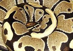"""""""Princess"""" (EcoSnake) Tags: nocturnal princess snake wildlife reptiles gentle royals pythonregius nonvenomous pythons aftica anawesomeshot harmlesssnakes simplyyourbest"""