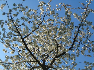 arbre en fleurs