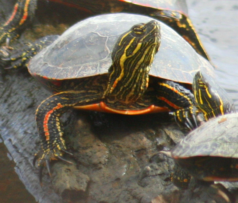 eastern painted turtle 02