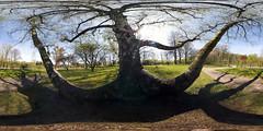Baum (HamburgerJung) Tags: panorama germany deutschland hamburg baum peleng hugin equirectangular perfectpanoramas nodalninja nn3 kugelpano